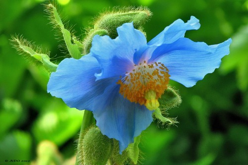 Himalayan-Blue-Poppy-a28317946
