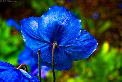 Himalayan blue poppy 05 by picsofflowers.blogspot.com