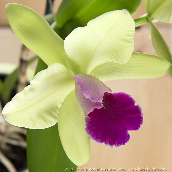 Orchid02